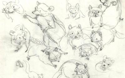 Raccoon Studies